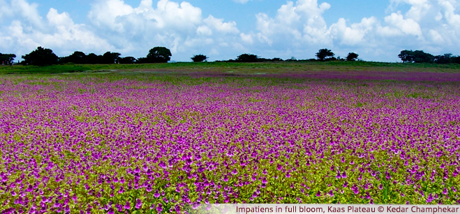 Impatiens in full bloom, Kaas Plateau - Kedar Champhekar